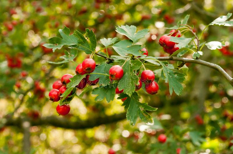Red ripe cowberry, hilberry, cranberry plant in the forest. Beautiful autumn forest landscape stock image
