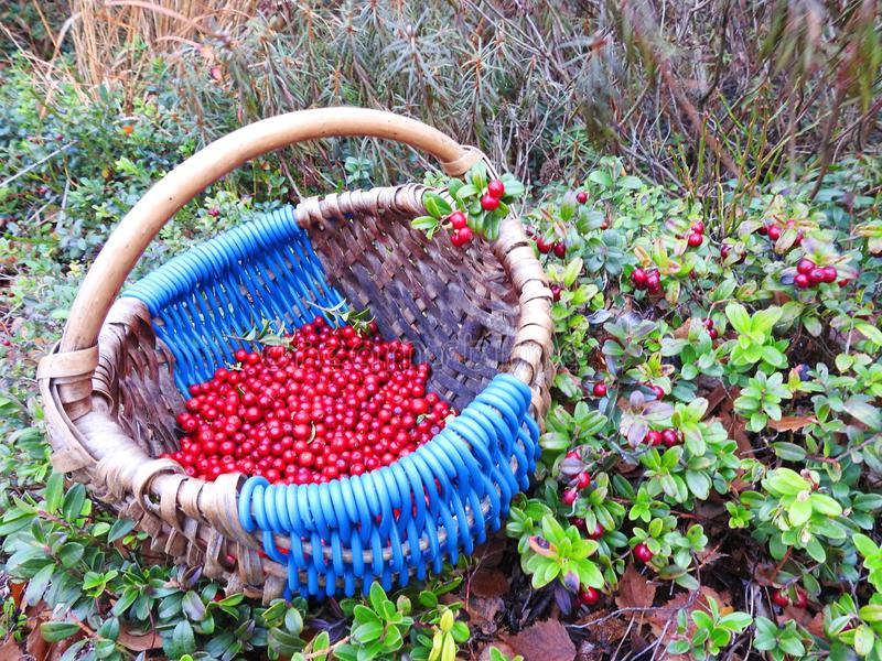 Red ripe cranberry in autumn, Lithuania royalty free stock photo