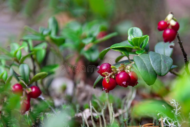 Red ripe cranberry in the forest, Russia. Beautiful red ripe cranberry in the forest in autumn stock photo