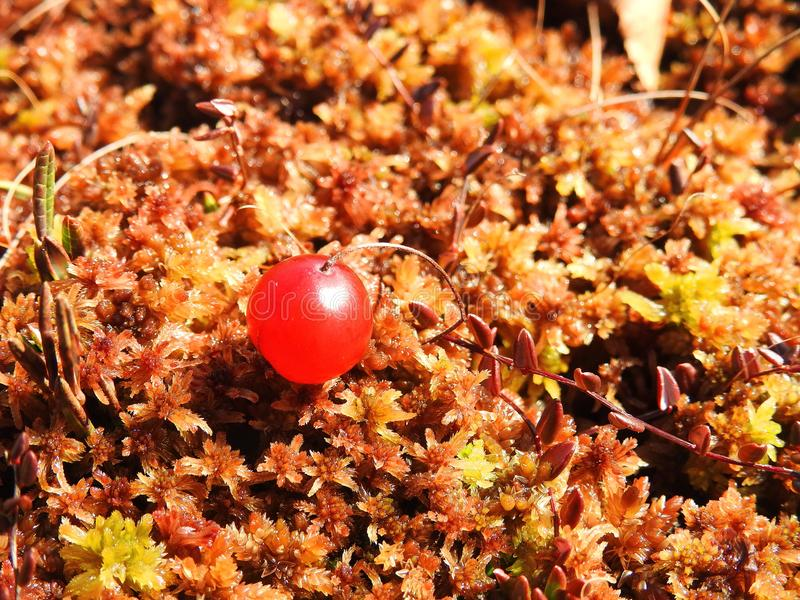 Red ripe cranberry on moss, Lithuania royalty free stock images
