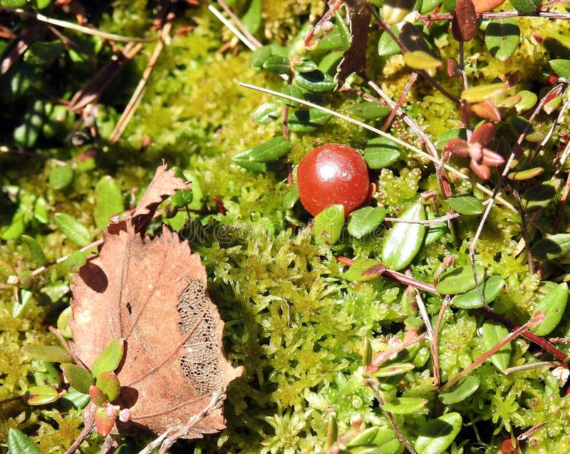 Red ripe cranberry on moss, lithuania royalty free stock image