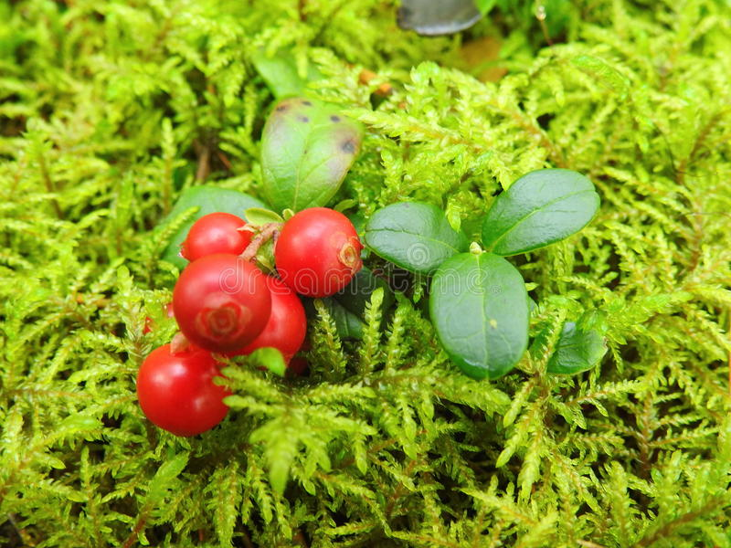 Red ripe cranberry on moss royalty free stock photography