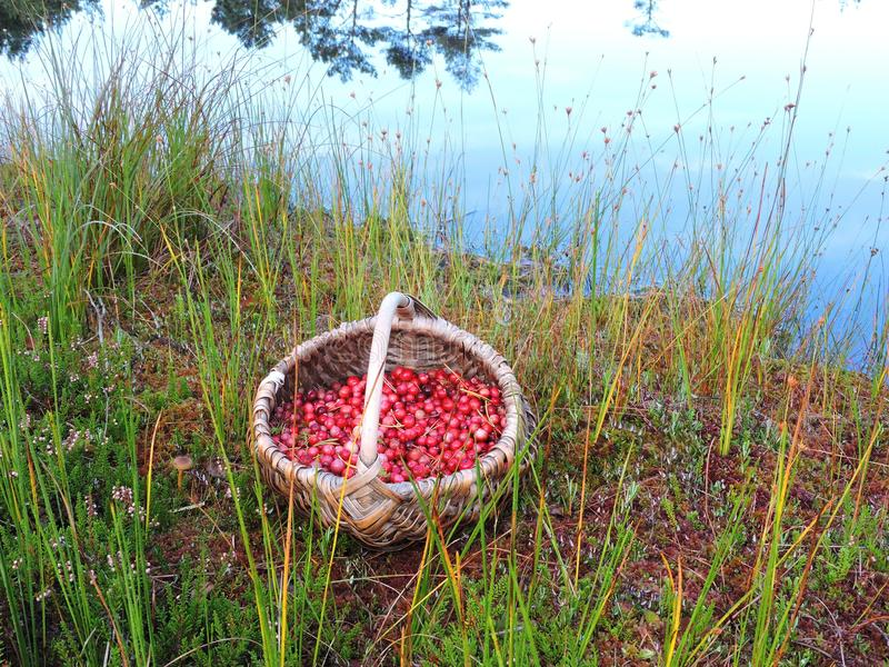 Red cranberry in wicker, Lithuania royalty free stock image