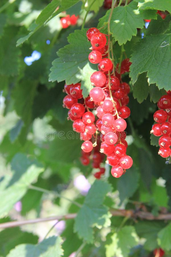 A red ripe currant on the green leaves background at the sunny day. Berries in the summer garden. A red ripe currant on the blue sky background at the sunny day royalty free stock photo