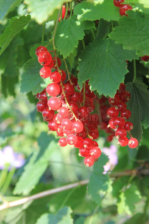 A red ripe currant on the green leaves background at the sunny day. Berries on the bush in the summer garden. Closeup. Summer mood stock photos