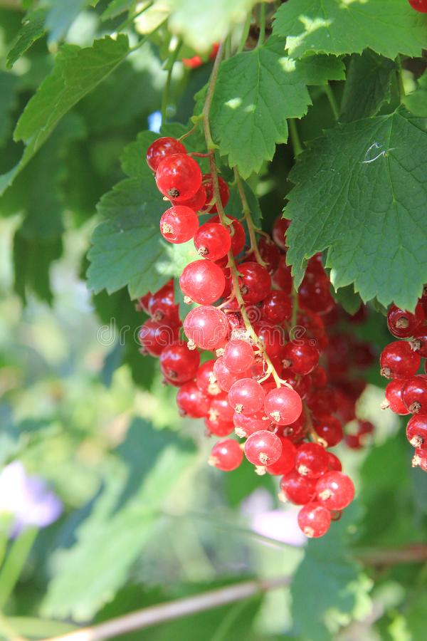 A red ripe currant on the green leaves background at the sunny day. Berries in the summer garden. Spiderweb. A red ripe currant on the green leaves background at royalty free stock photography