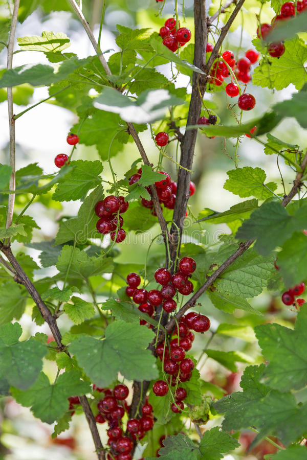 Red ripe currents in garden. Red ripe currents hanging in garden closeup royalty free stock images