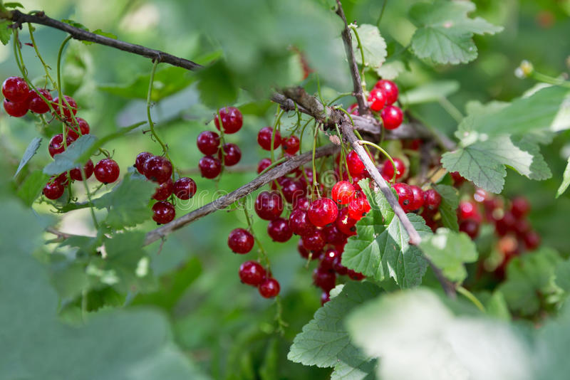 Red ripe currents in garden. Red ripe currents hanging in garden closeup royalty free stock photography