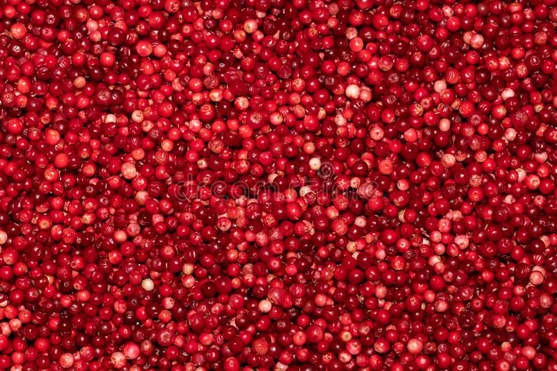 Red ripe fresh cranberries close-up. Fruit background. Cowberry, red bilberry, red whortleberry, foxberry, red huckleberry royalty free stock images
