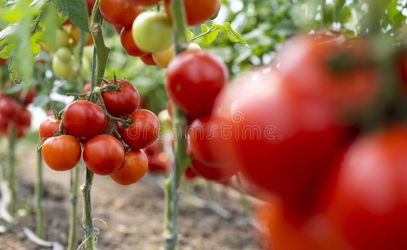 Red ripe heirloom tomatoes grown stock image