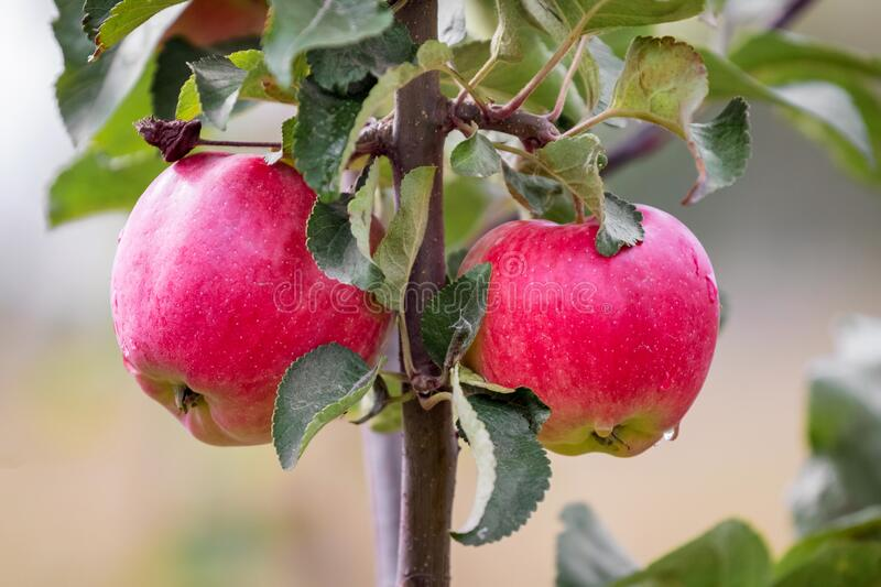 Red ripe juicy apples on the tree. _ royalty free stock photos