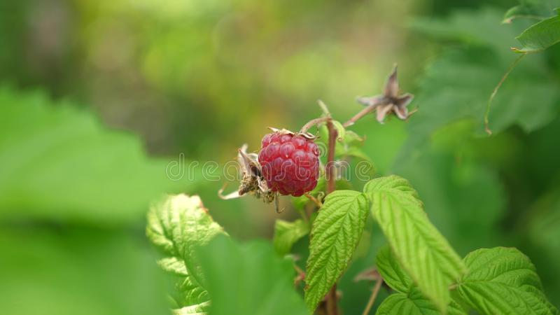 Red ripe juicy raspberries in the garden, a large sweet raspberry berry. Raspberry harvest. tasty berry on the branch royalty free stock photos