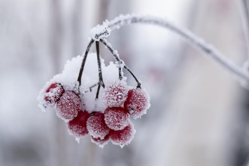 Red, ripe, mouth-watering berries of Viburnum are covered with hoarfrost and snow, on a cold winter day stock image