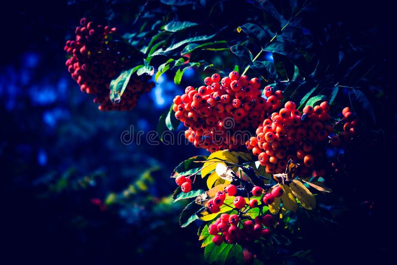 Red mountain ash on a cold night in the park. Red ripe rowan hanging big bundles with twigs trees in an autumn park stock photography
