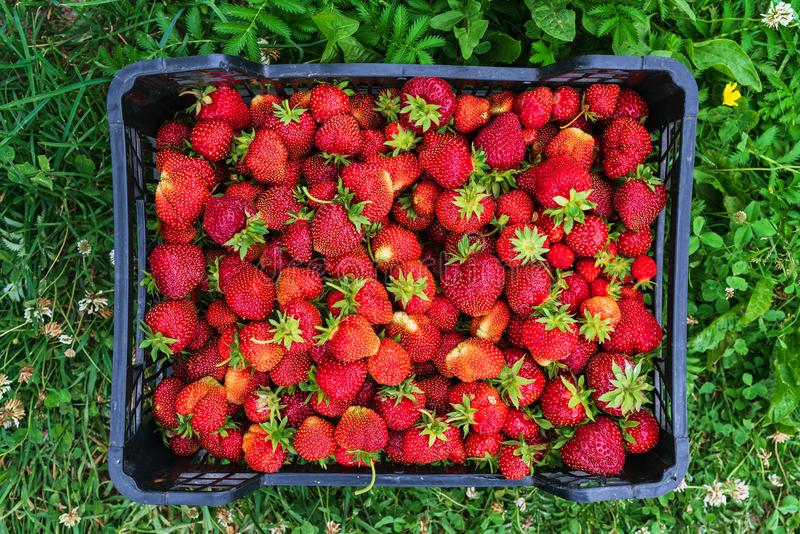 Red ripe strawberries in the box. Red ripe strawberries in black plastic box on the grass royalty free stock photo