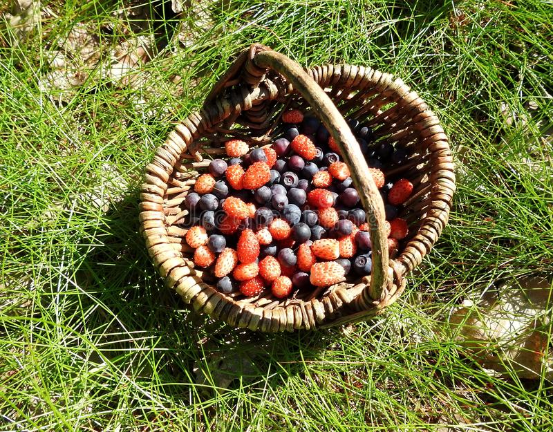 Red ripe strawberry and blueberries in wicker, Lithuania stock photo