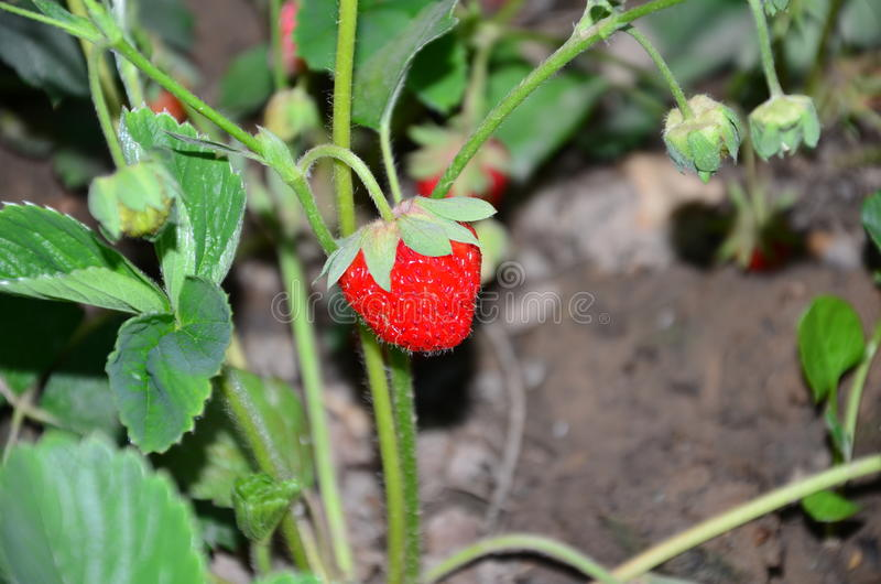 Red-ripe strawberry in garden stock photo