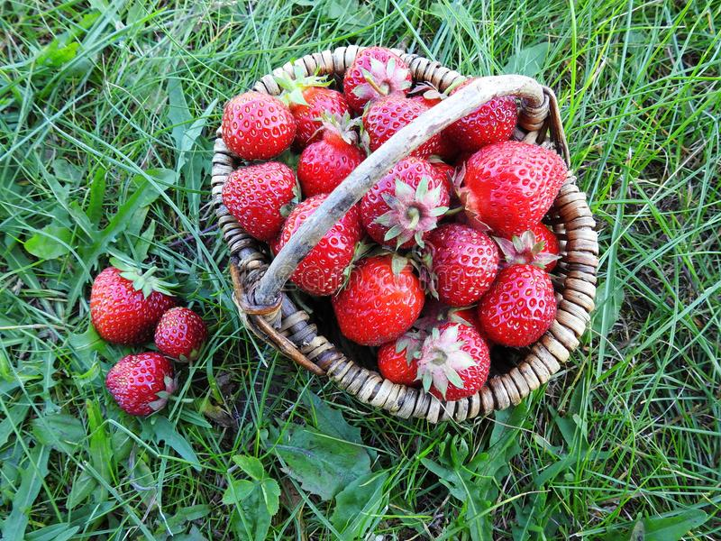 Red ripe strawberry in basket, Lithuania royalty free stock photo