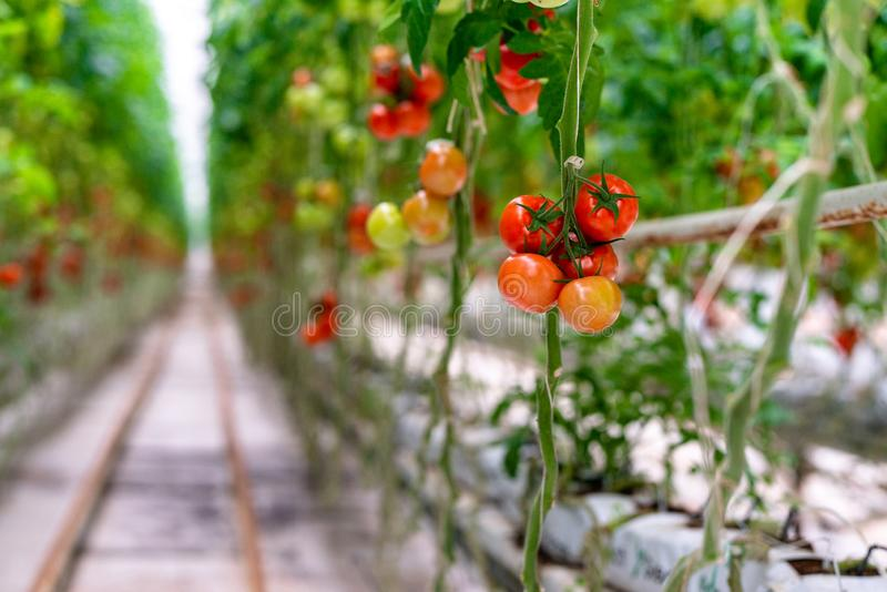 Red ripe tomatoes grown in a greenhouse. royalty free stock images