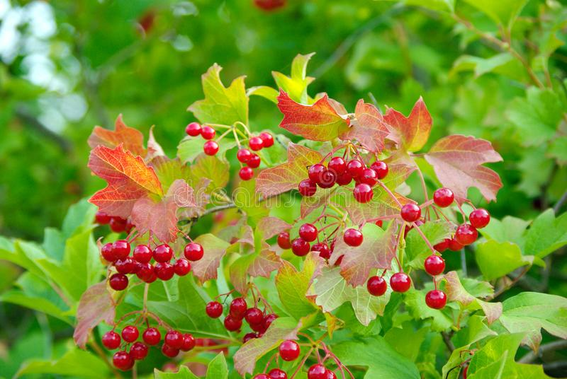 Red ripe viburnum. Viburnum bush royalty free stock photography