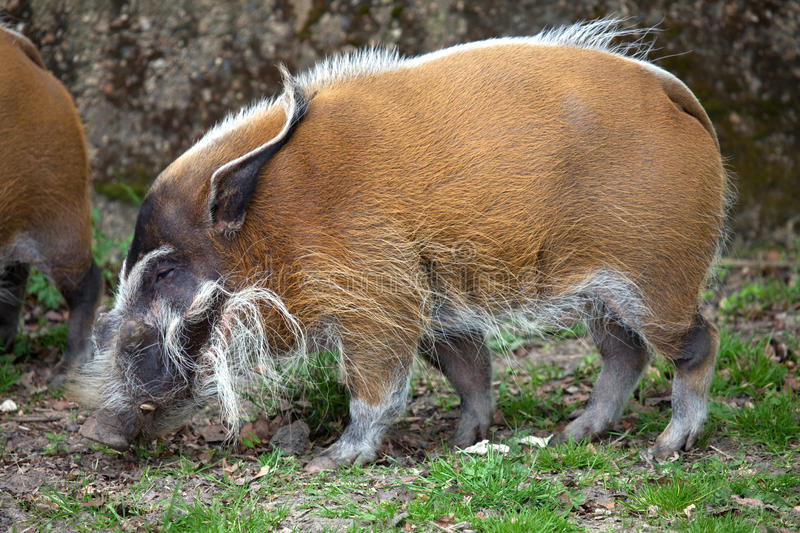 Red River Hog. A landscape view of a Red River Hog royalty free stock photo