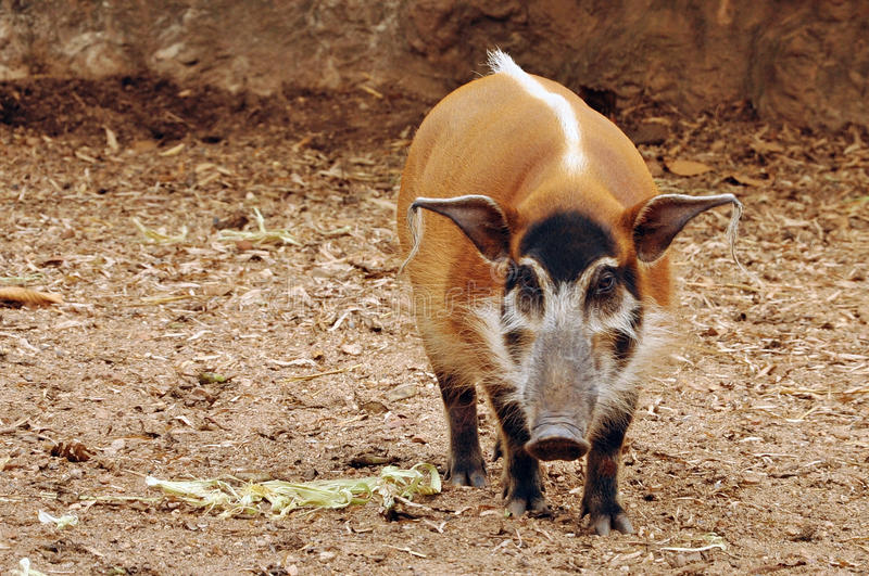 Red river hog. The red river hog has striking red fur, with black legs and a tufted white stripe along the spine royalty free stock photos