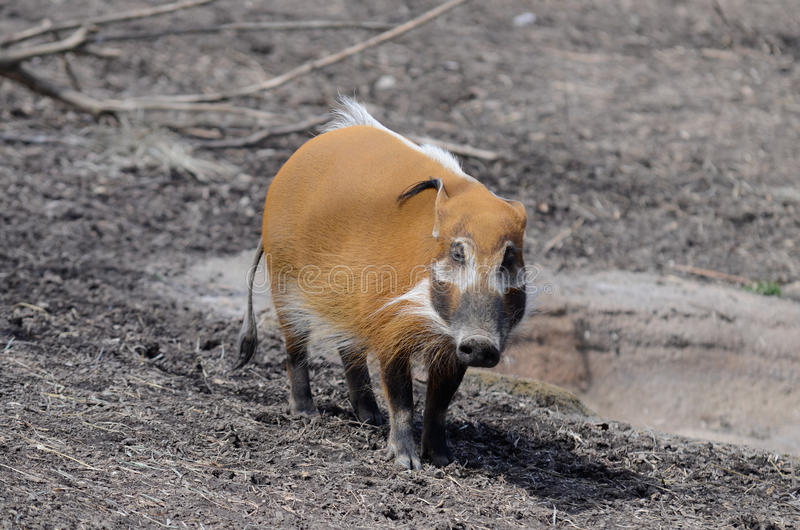 Red river hog. An adult red river hog stands near a small pond royalty free stock photos