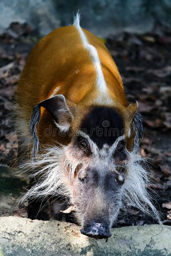 Wild Boar, Red River Hog royalty free stock images