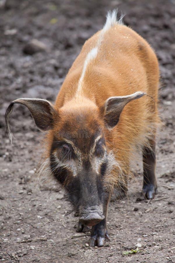 Free Red River Hog Potamochoerus Porcus Stock Photos - 86181413