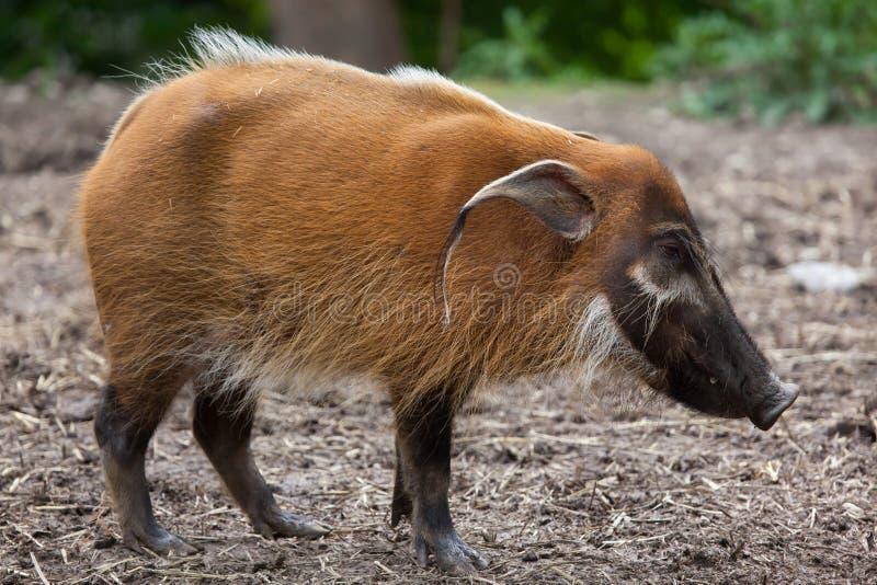 Red river hog Potamochoerus porcus. Also known as the bush pig stock photos