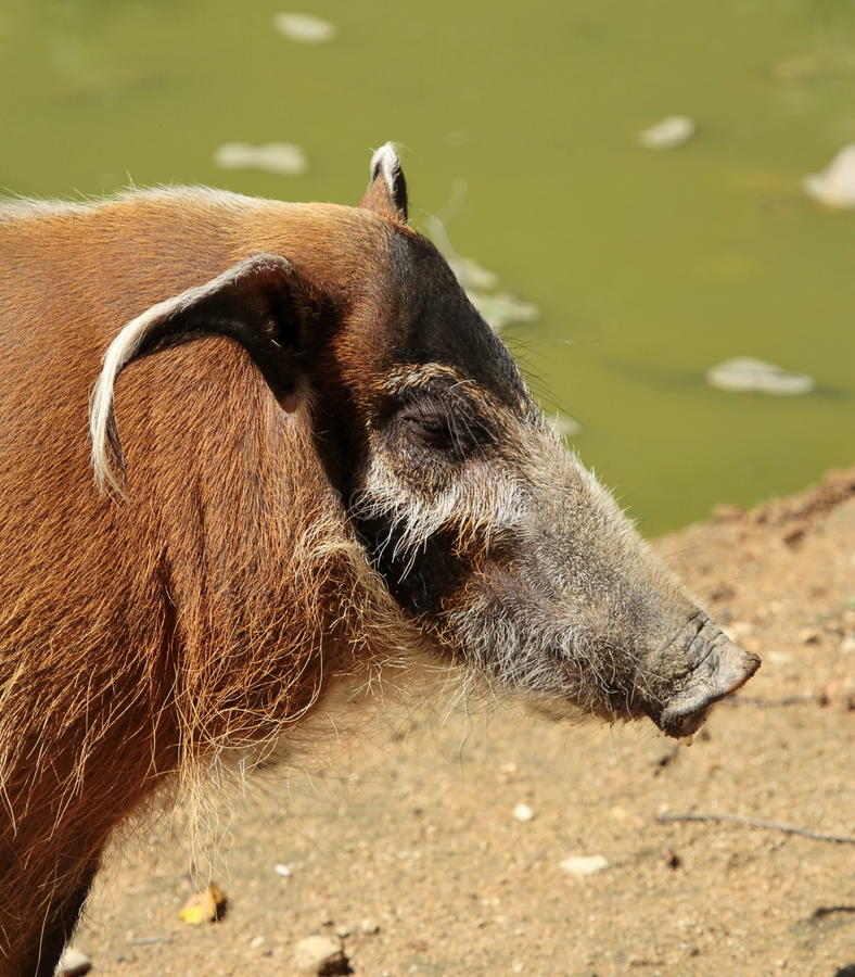 Red river hog or potamochoerus portrait royalty free stock images