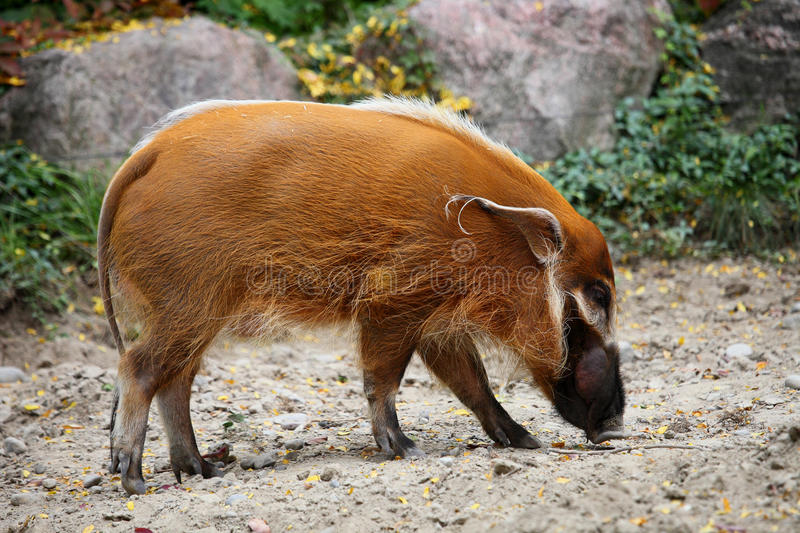 Red river hog. The red river hog is seeking food royalty free stock photo