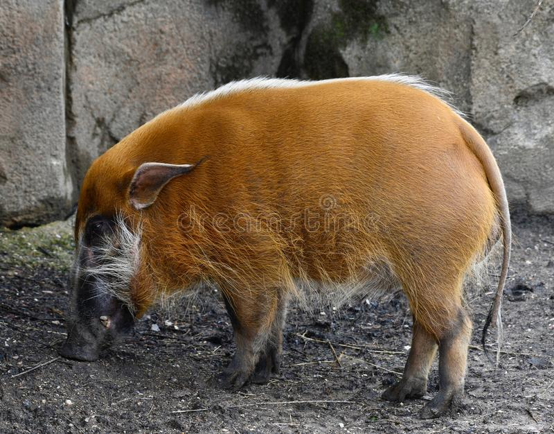A Red River Hog  1. This is a Spring picture of a Red River Hog in its habitat at the Lincoln Park Zoo located in Chicago, Illinois in Cook County.  This picture royalty free stock image