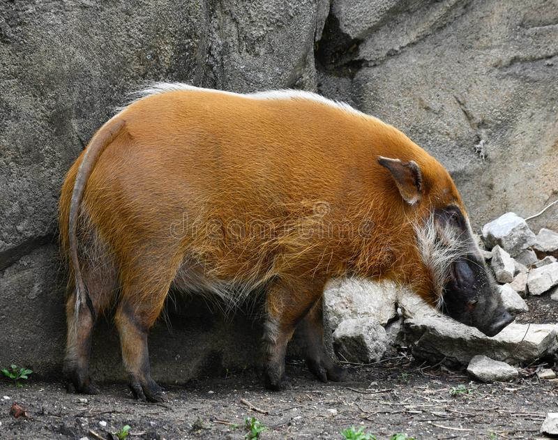 A Red River Hog  2. This is a Spring picture of a Red River Hog in its habitat at the Lincoln Park Zoo located in Chicago, Illinois in Cook County.  This picture royalty free stock image