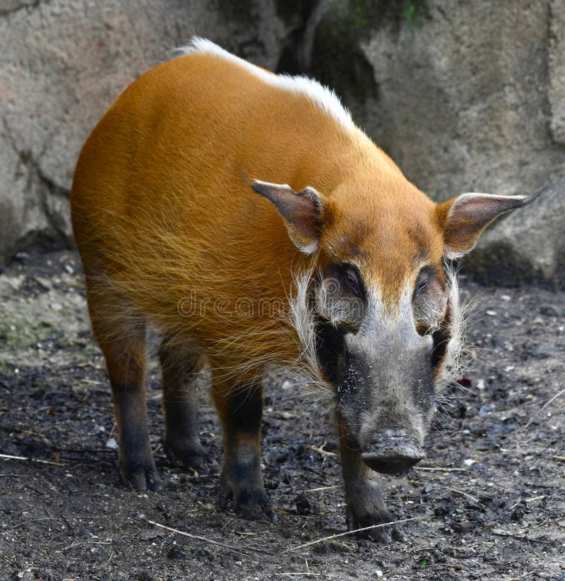 A Red River Hog  3. This is a Spring picture of a Red River Hog in its habitat at the Lincoln Park Zoo located in Chicago, Illinois in Cook County.  This picture stock images