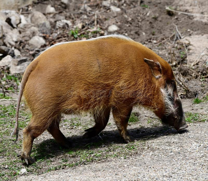Red River Hog. This is a Spring picture of a male Red River Hog prowling his compound at the Lincoln Park Zoo located in Chicago, Illinois in Cook County. The royalty free stock photography