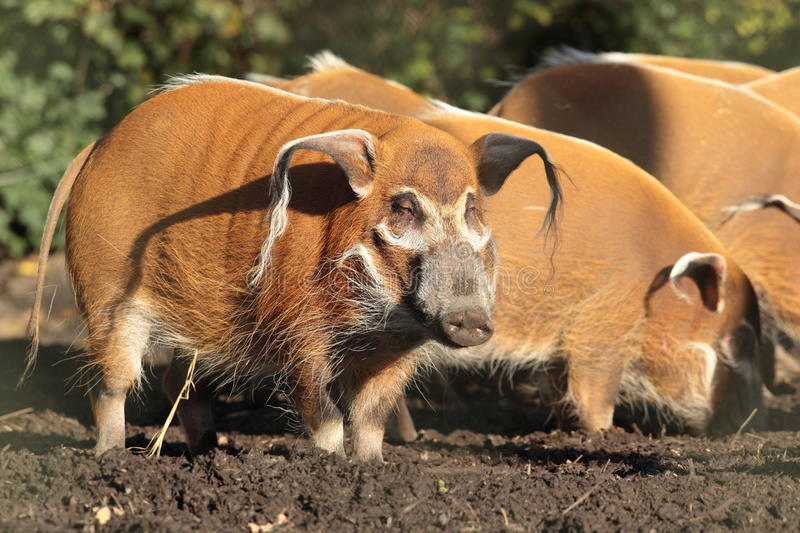 Red river hog. View of a red river hog foraging on the ground royalty free stock images