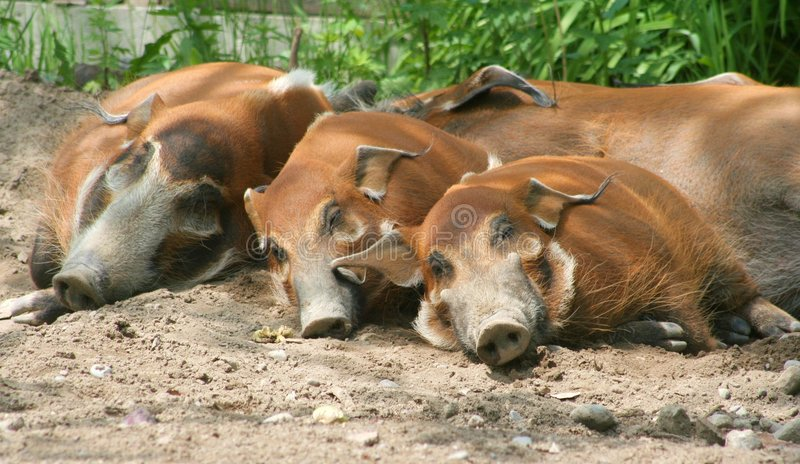 Download Red River Hogs stock image. Image of river, relax, lazy - 5322197