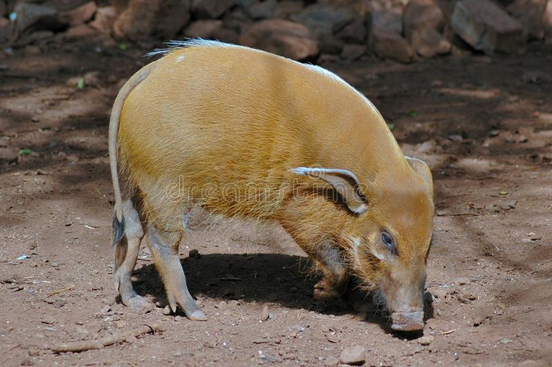 Red River Pig. stock images