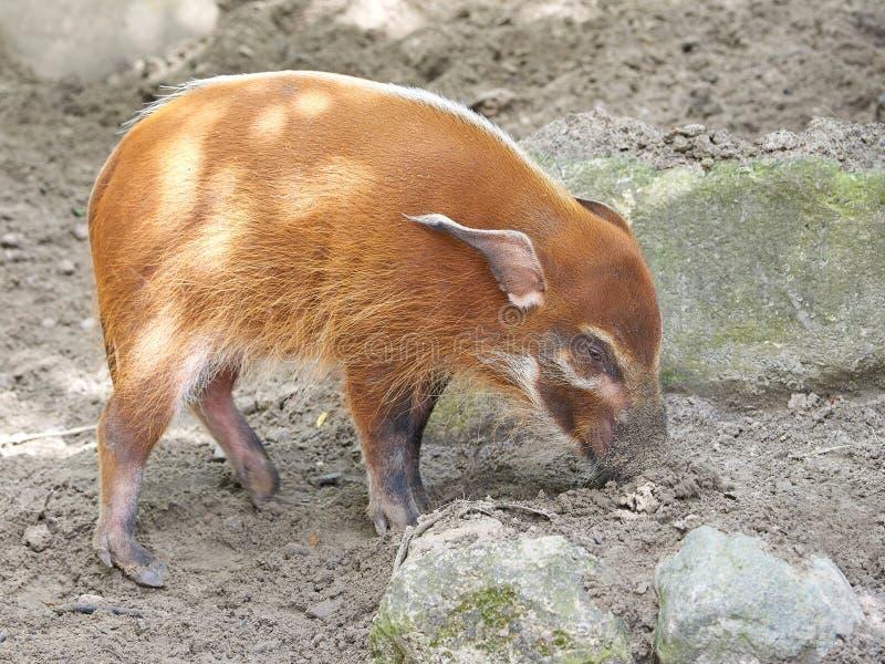 Red River Schwein Potamochoerus-porcus lizenzfreie stockbilder