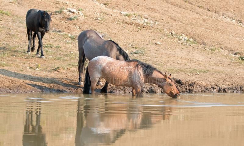 Red Roan mare reflecting in the water while drinking in the Pryor Mountains Wild Horse Range in Montana USA. Red Roan mare reflecting in the water while drinking royalty free stock image