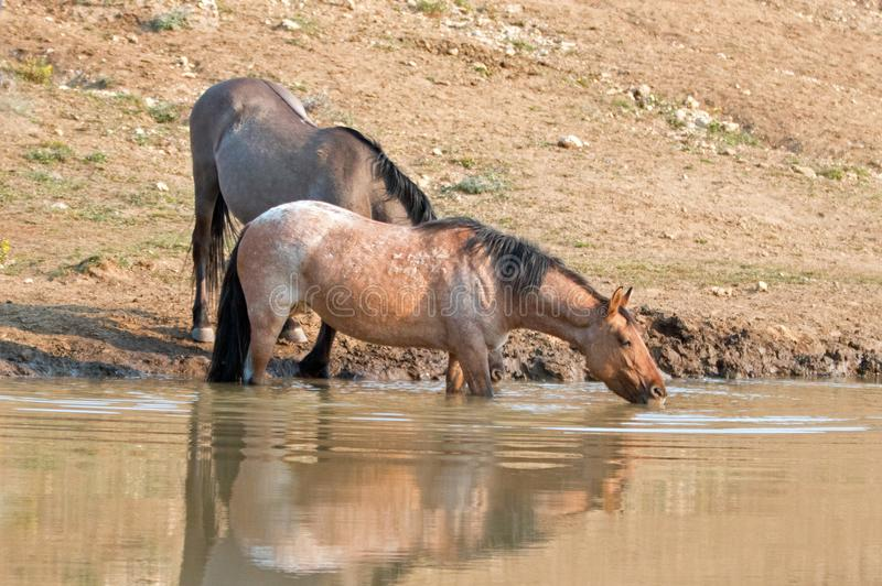 Red Roan mare reflecting in the water while drinking in the Pryor Mountains Wild Horse Range in Montana USA. Red Roan mare reflecting in the water while drinking royalty free stock photos