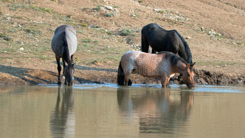 Red Roan mare reflecting in the water while drinking in the Pryor Mountains Wild Horse Range in Montana USA. Red Roan mare reflecting in the water while drinking stock photography