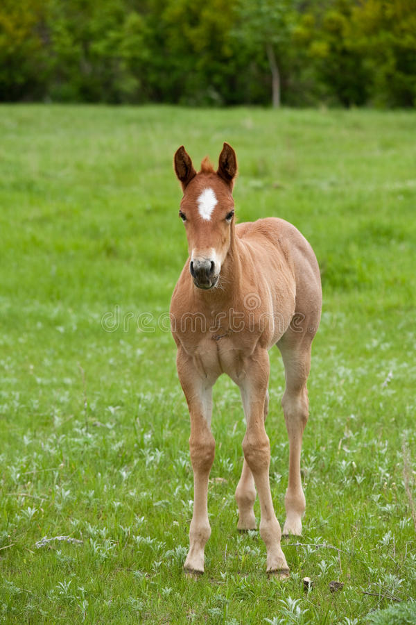 Red roan quarter horse foal. In green pasture or meadow royalty free stock images