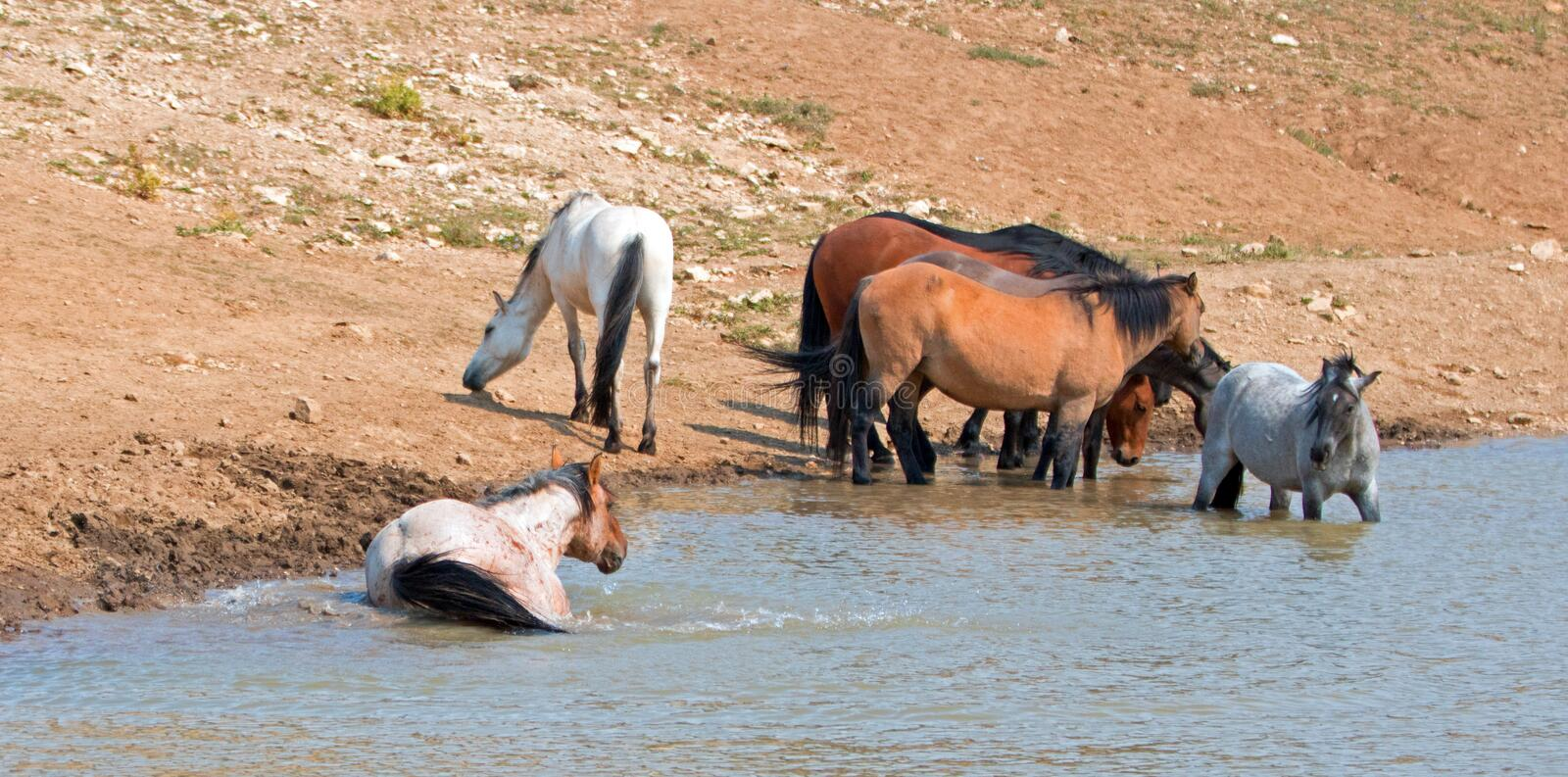 Red Roan stallion rolling in the water with herd of wild horses in the Pryor Mountains Wild Horse Range in Montana USA. Red Roan stallion rolling in the water stock photo