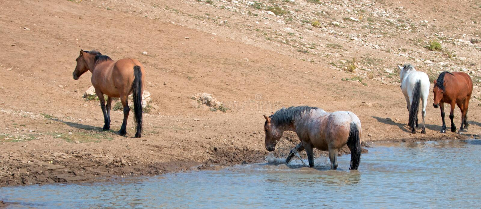 Red Roan stallion splashing in the water with herd of wild horses in the Pryor Mountains Wild Horse Range in Montana USA. Red Roan stallion splashing in the royalty free stock photo