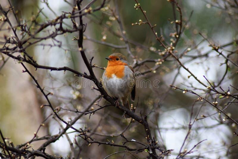 red robin fotografia stock