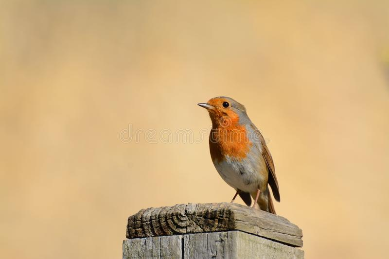Red robin on post. (Erithacus rubecula) royalty free stock photography