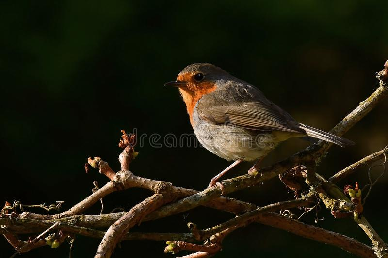 Red Robin sits in morning sun royalty free stock images