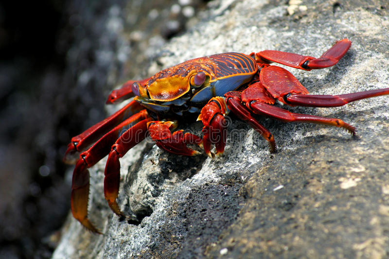 Red rock crab stock image